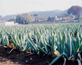 下仁田ネギ畑の風景